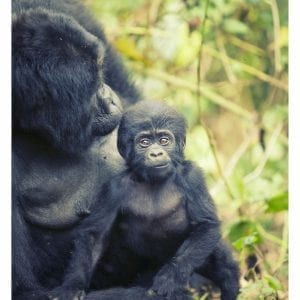 Artistic colour photo print of a baby mountain gorilla and its mother in the mountains of Uganda.