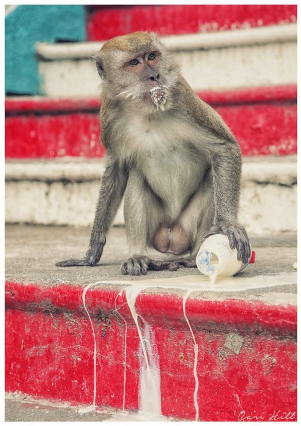 Artistic colour photo print of a cheeky monkey with his stolen loot at Thaipusam religious festival in Batu Caves, Kualar Lumpa, Malaysia.