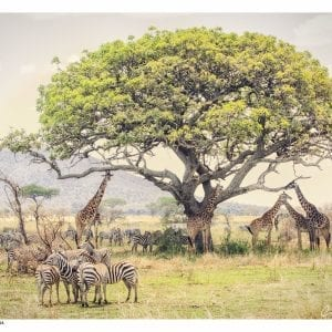 Artistic colour photo print of a Tree with giraffes and zebras standing beneath it in Serengeti National Park, Tanzania.