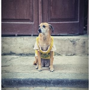 Artistic photo print of t-shirt wearing watchdog taken in street in Havana, Cuba.