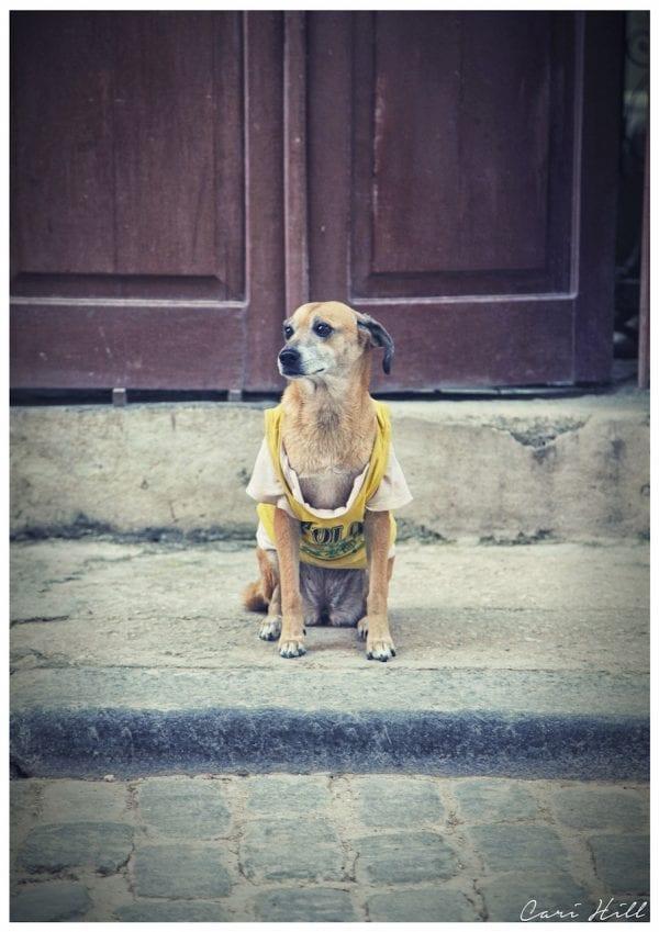 Artistic photo print of t-shirt wearing watchdog taken in street in Havana, Cuba.