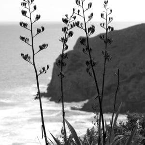 Black and White Flax Flowers in Anawhata