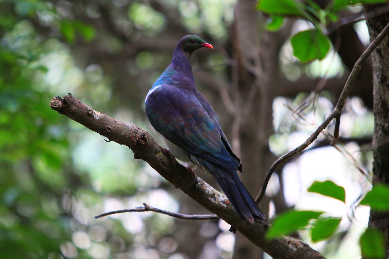 NZ Kererū (Wood Pigeon)
