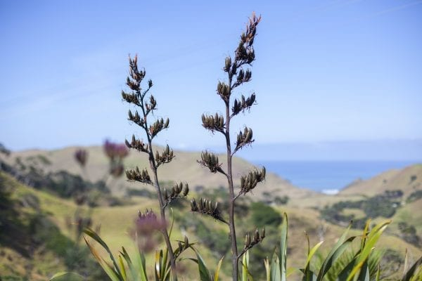 Flax Flowers, Awhitu Peninsular